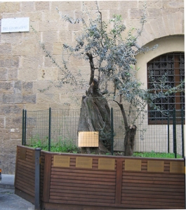 The olive tree that marks the spot of the explosion on Via dei Georgofili in Florence